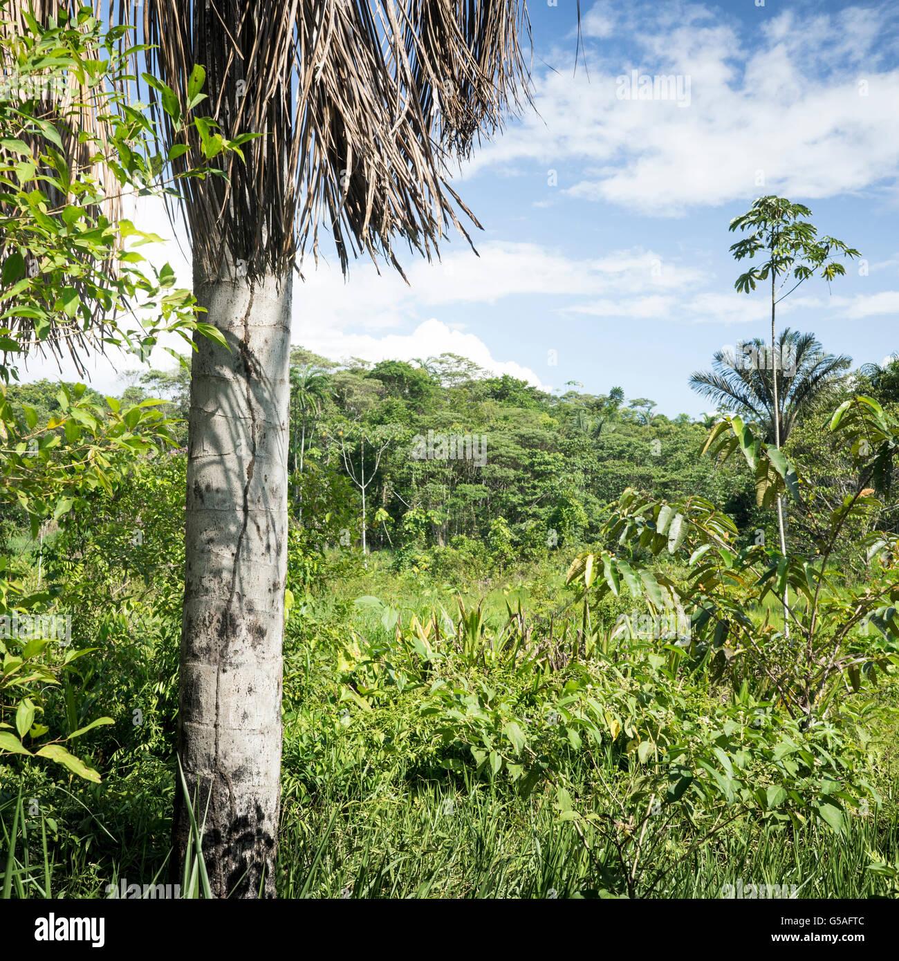 La selva del Amazonas, Loreto, Perú Imagen De Stock