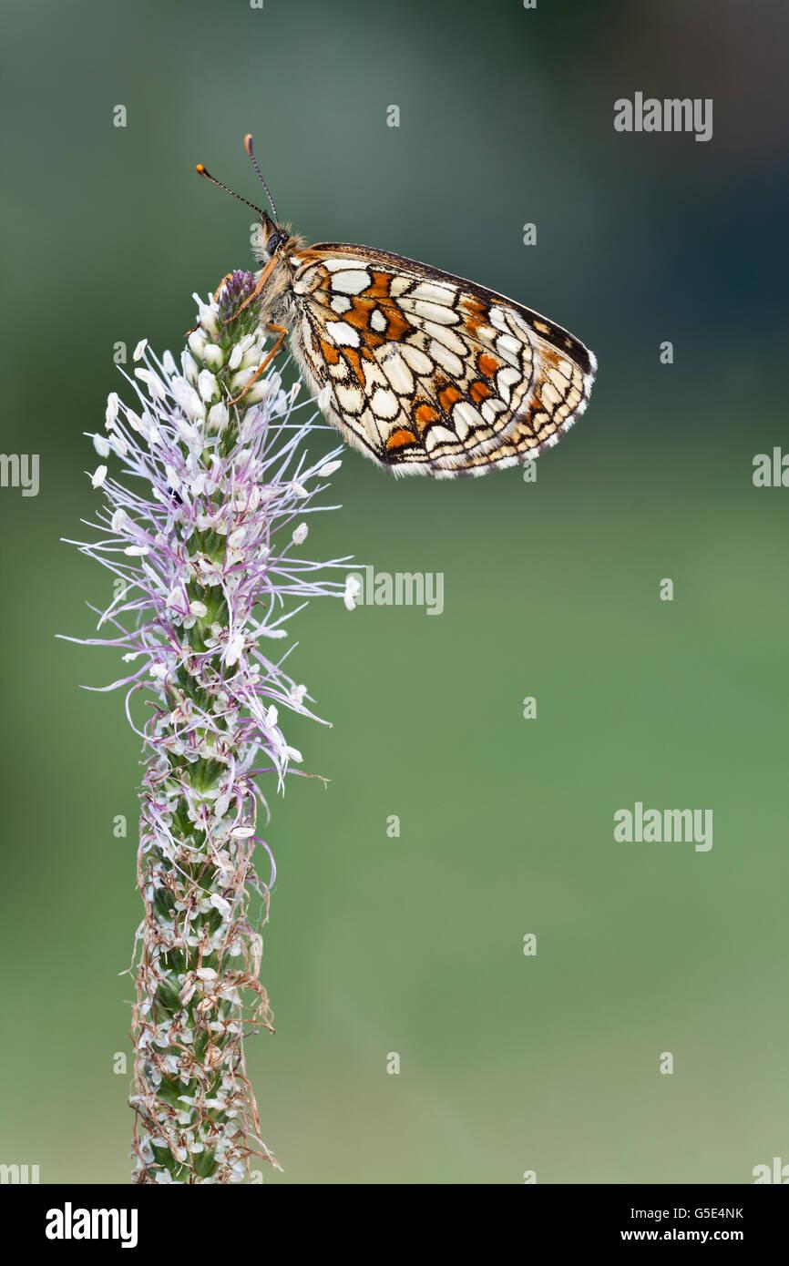 Speyeria Heath (Mellicta athalia) sobre una vieja Plaintain (Plantago media) Foto de stock