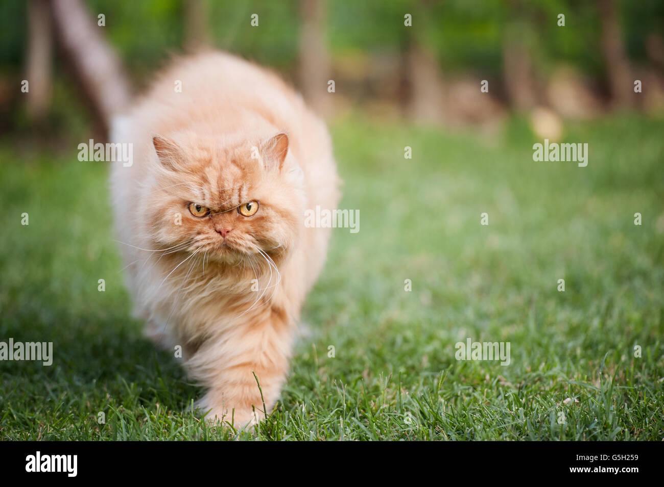 Gato persa enojado caminando Foto de stock