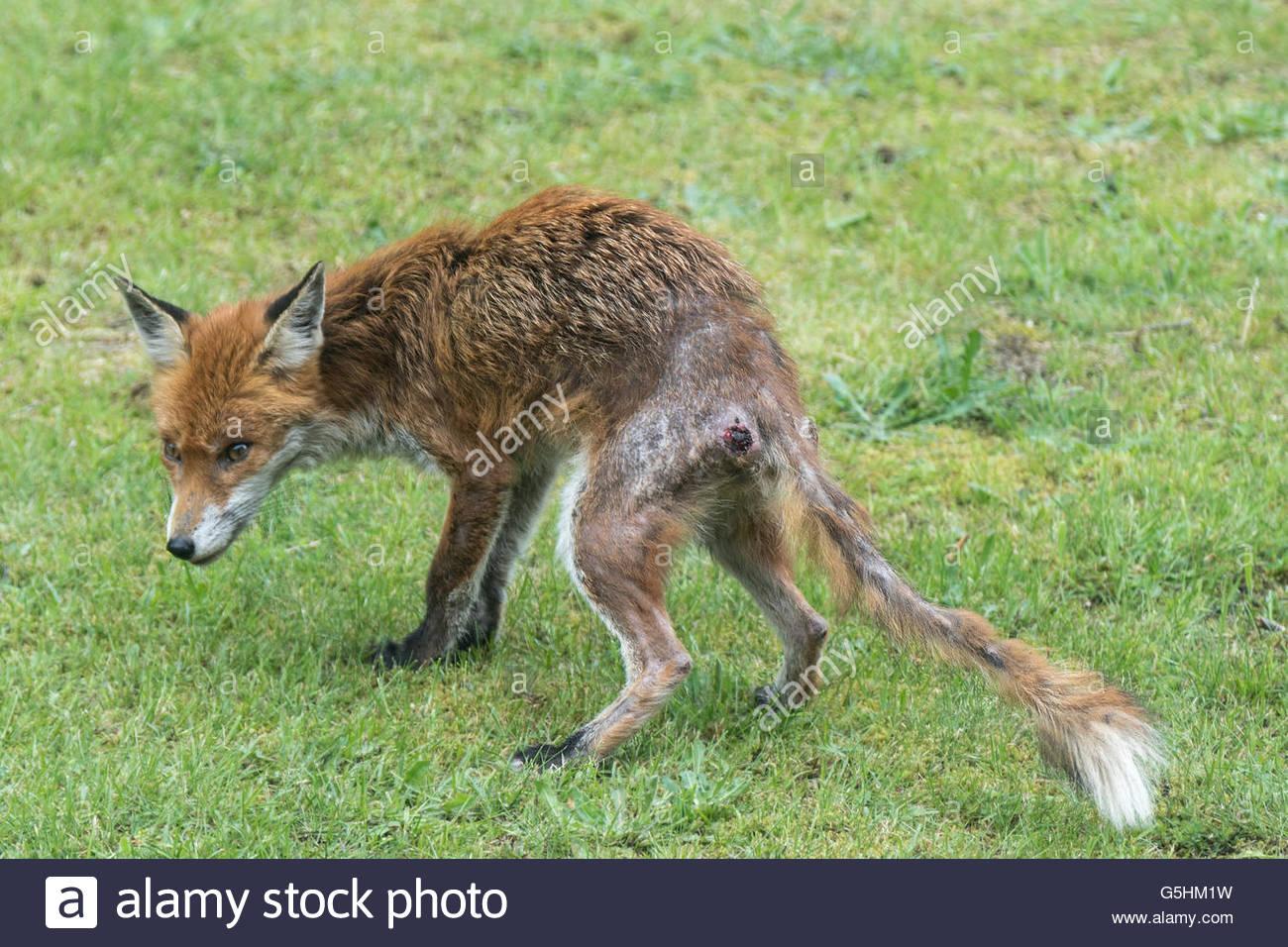 Urban fox padece sarna sarcóptica. Heridas en sus cuartos traseros son autogenerados como el zorro arañazos para aliviar la comezón Foto de stock