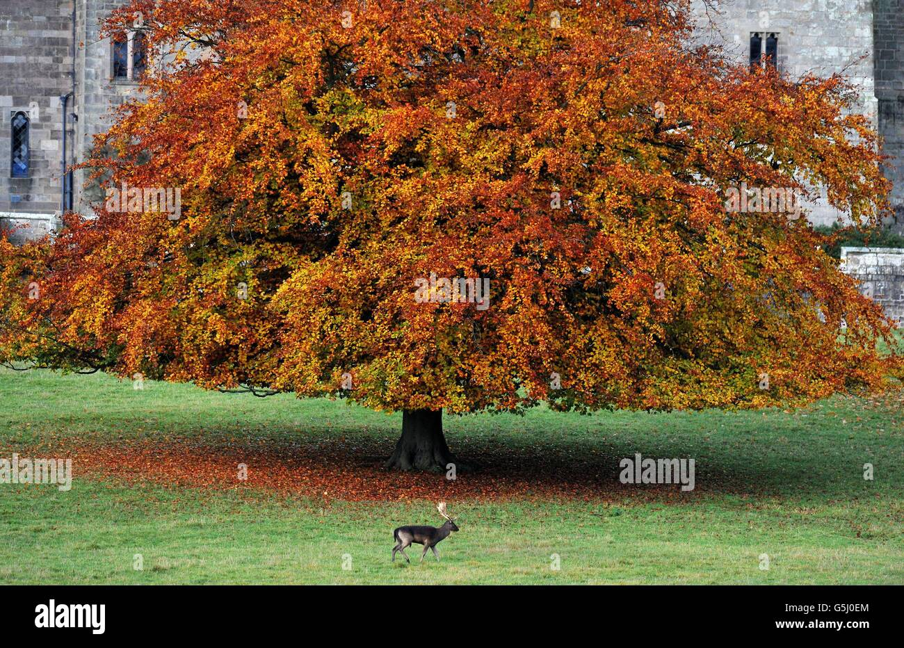 Un ciervo se ve en los terrenos del Castillo de Raby en Darlington, Co Durham, durante la temporada de corte. Foto de stock