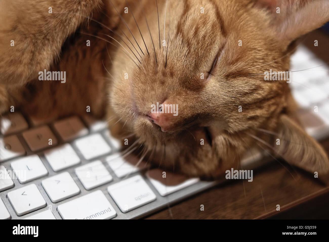 Gato atigrado naranja dormida en el teclado del ordenador Imagen De Stock