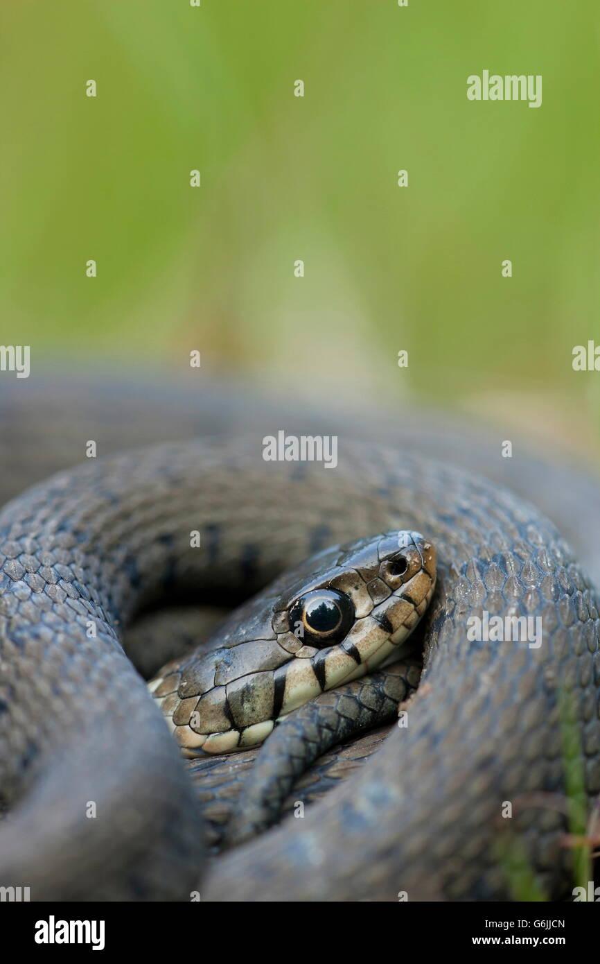 Culebra, Alemania / (Natrix natrix) Imagen De Stock