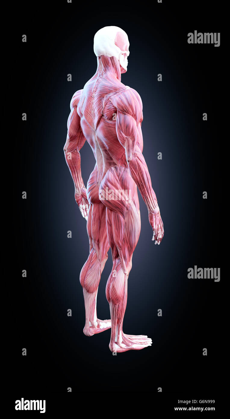 Anatomía Humana muscular detallada ilustración Imagen De Stock