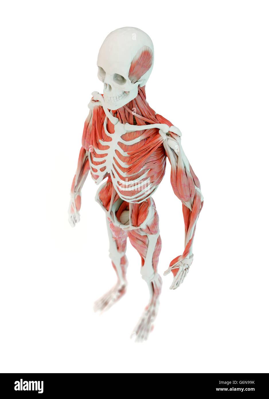 Detallada anatomía humana muscular profunda ilustración Imagen De Stock