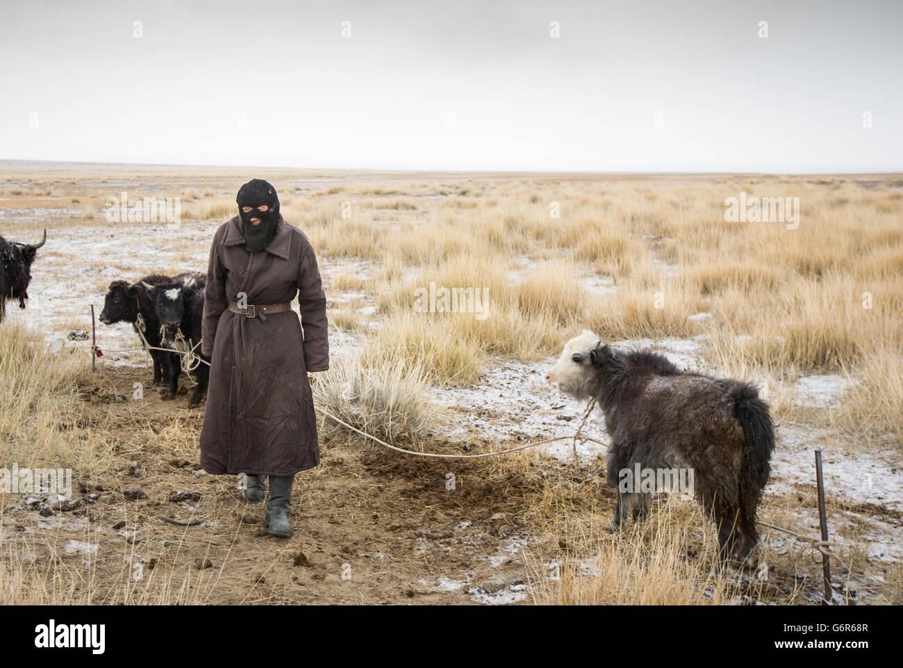 Hombre nómada con jóvenes yak en una fría mañana en el oeste de Mongolia Imagen De Stock