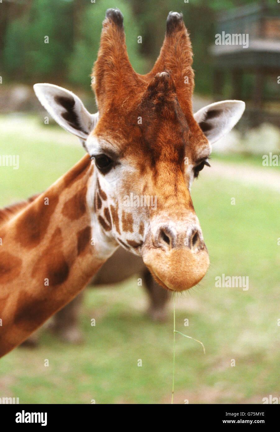 Jirafa en el Zoo. Foto de stock