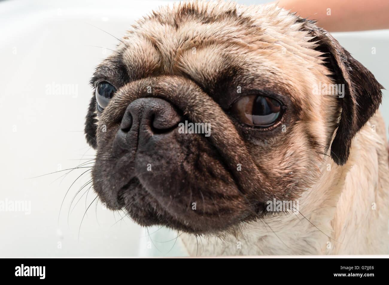 Un perro pug obtener lavados en una bañera Imagen De Stock