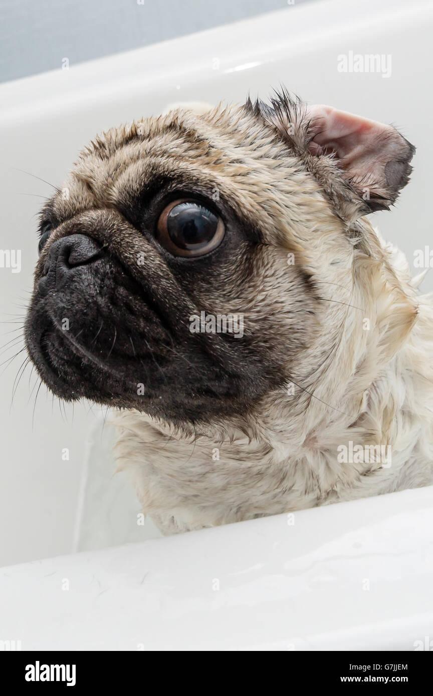 Un perro pug recién lavado en una tina de baño Imagen De Stock