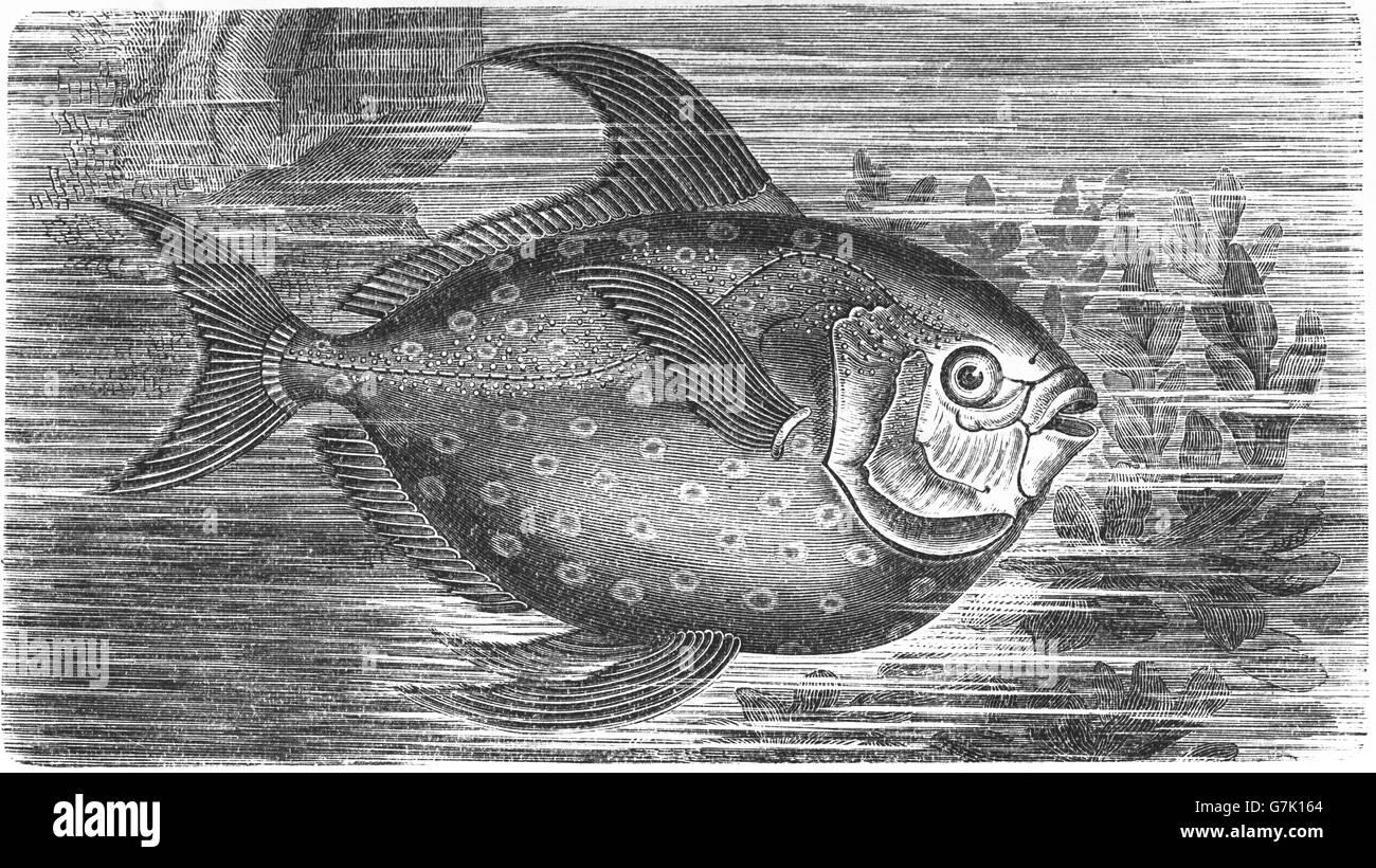 Lampris guttatus, opah, cravo, moonfish, carite, Jerusalén eglefino, ilustración del libro de fecha 1904 Foto de stock