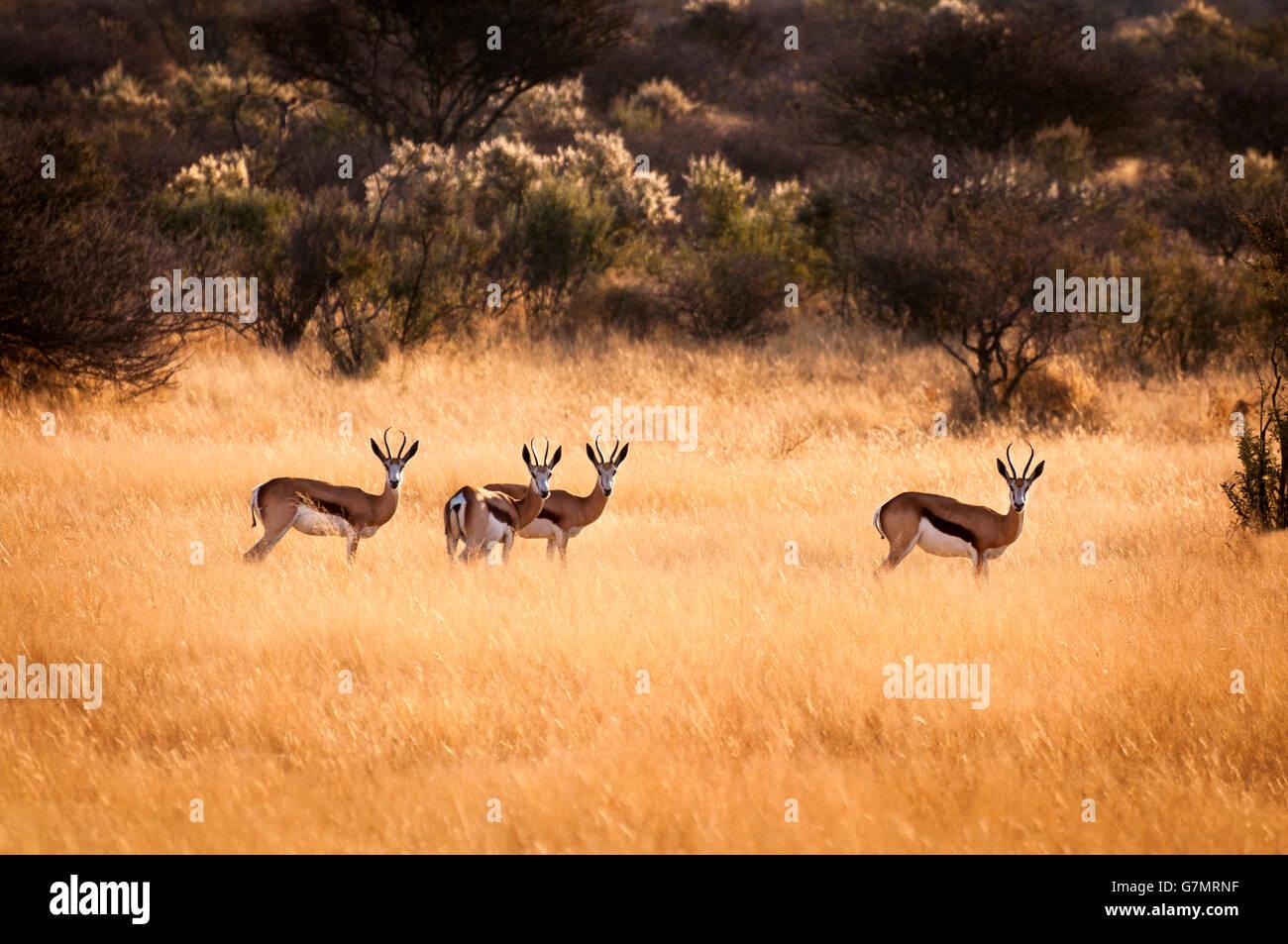 Manada de springbok en Namibia Imagen De Stock