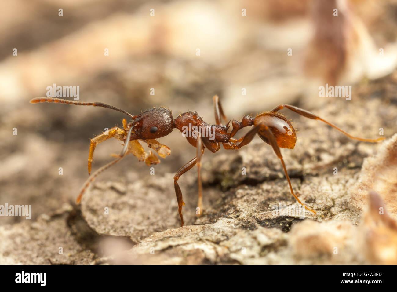 Un Spine-con cintura (hormiga Aphaenogaster fulva) wroker vetusta lleva comida a su nido en un árbol caído Imagen De Stock