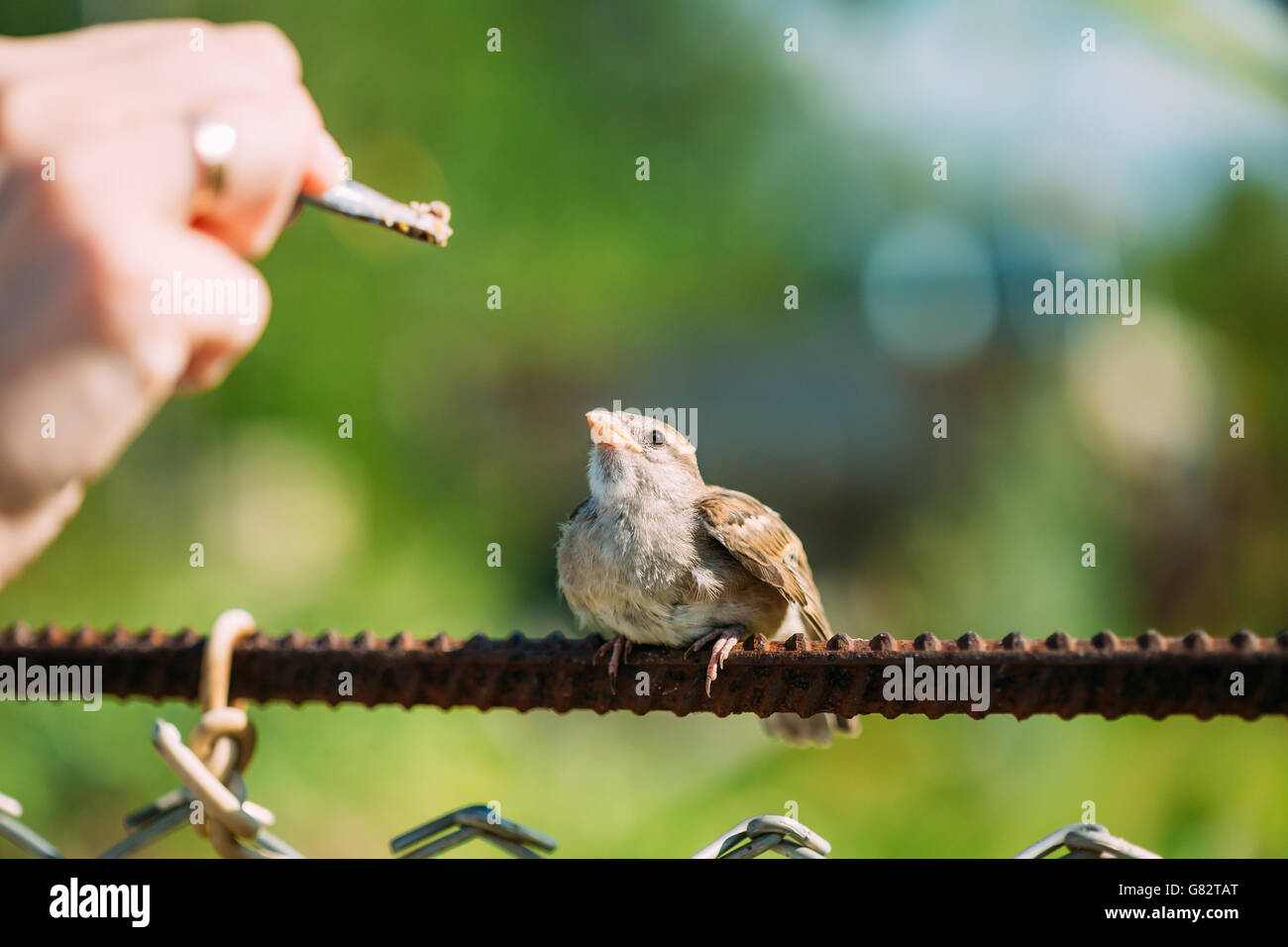 Alimentación de la joven chica, pájaro Gorrión Passer domesticus Yellow-Beaked Foto de stock