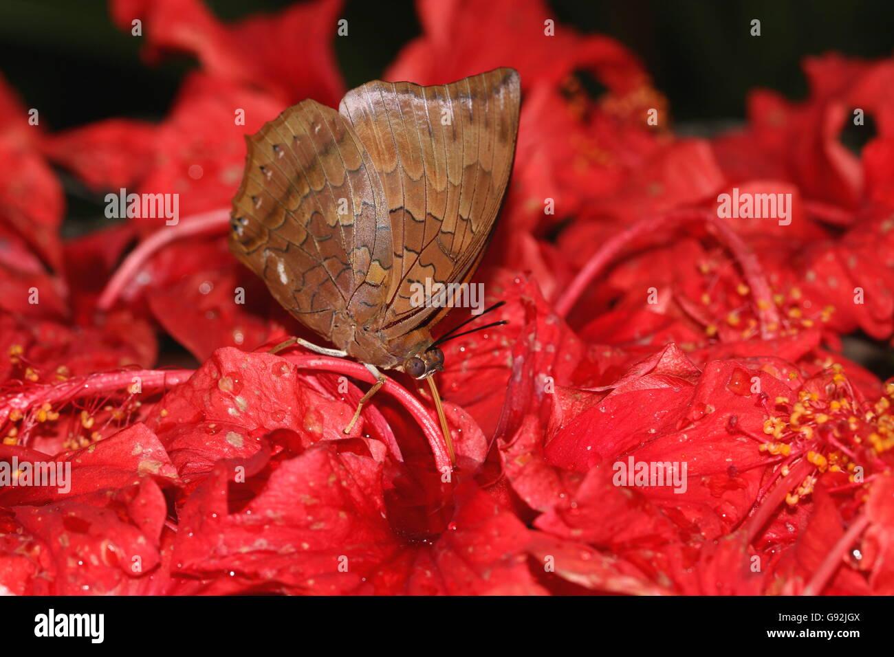Mariposa marrón común chupar néctar de flores de hibisco. Foto de stock