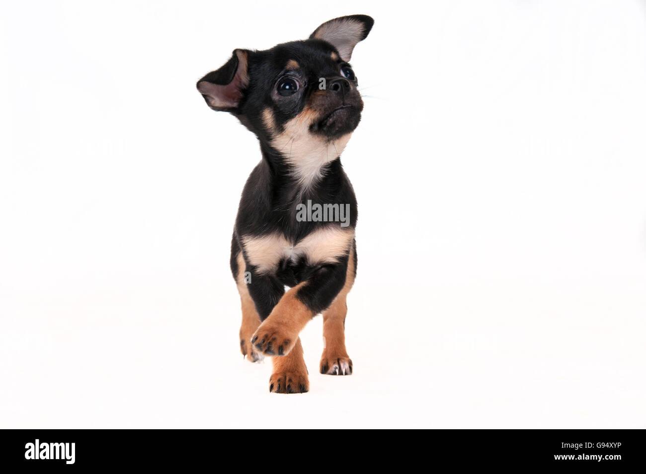 Chihuahua pelo corto negro