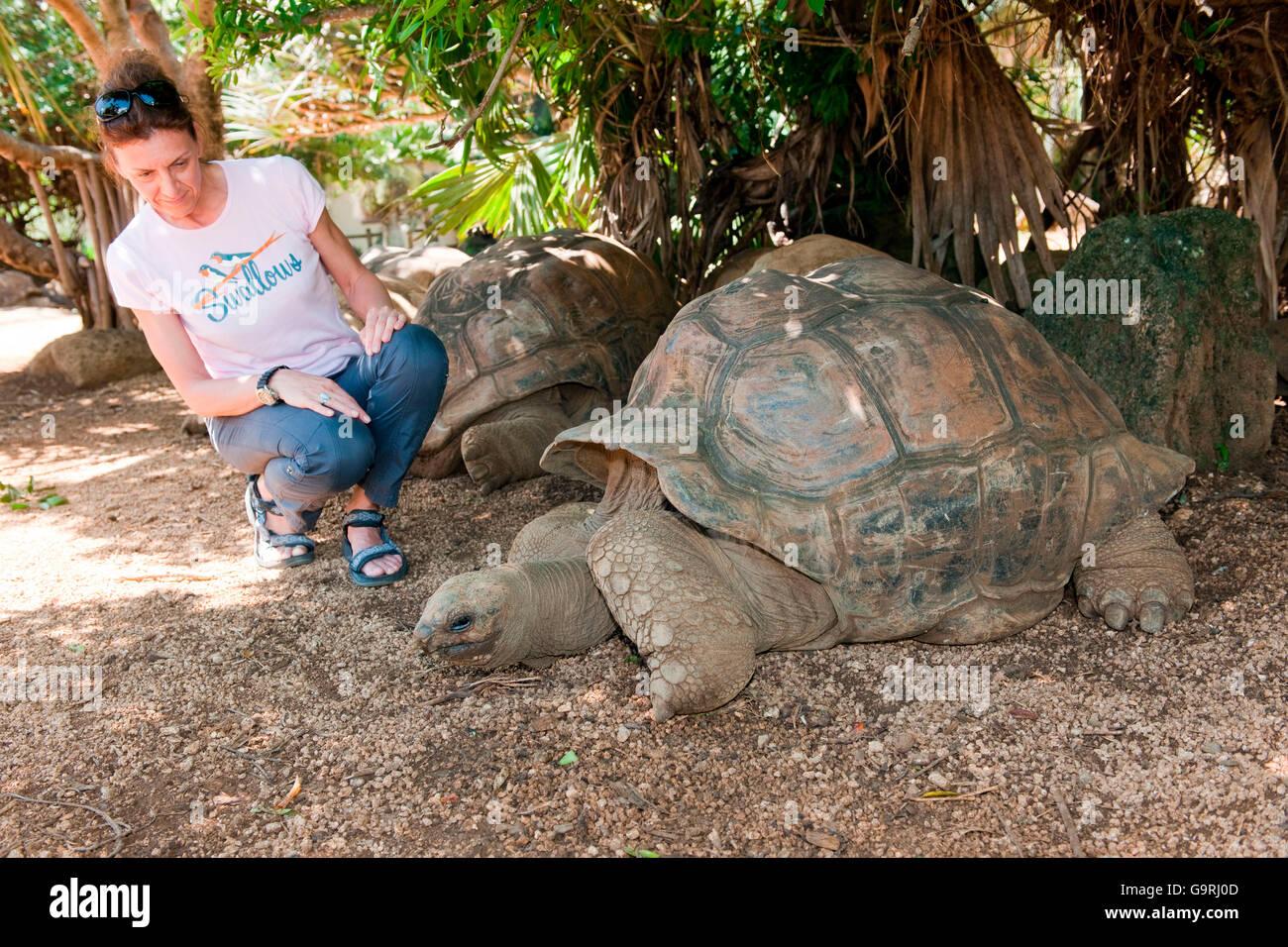 Aldabra tortuga gigante, el apareamiento, Mauricio, África, el Océano Índico / (Aldabrachelys gigantea) Imagen De Stock