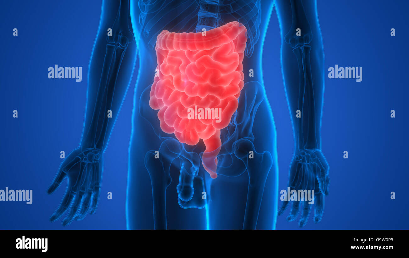 El sistema digestivo humano (grandes y pequeños del intestino ...