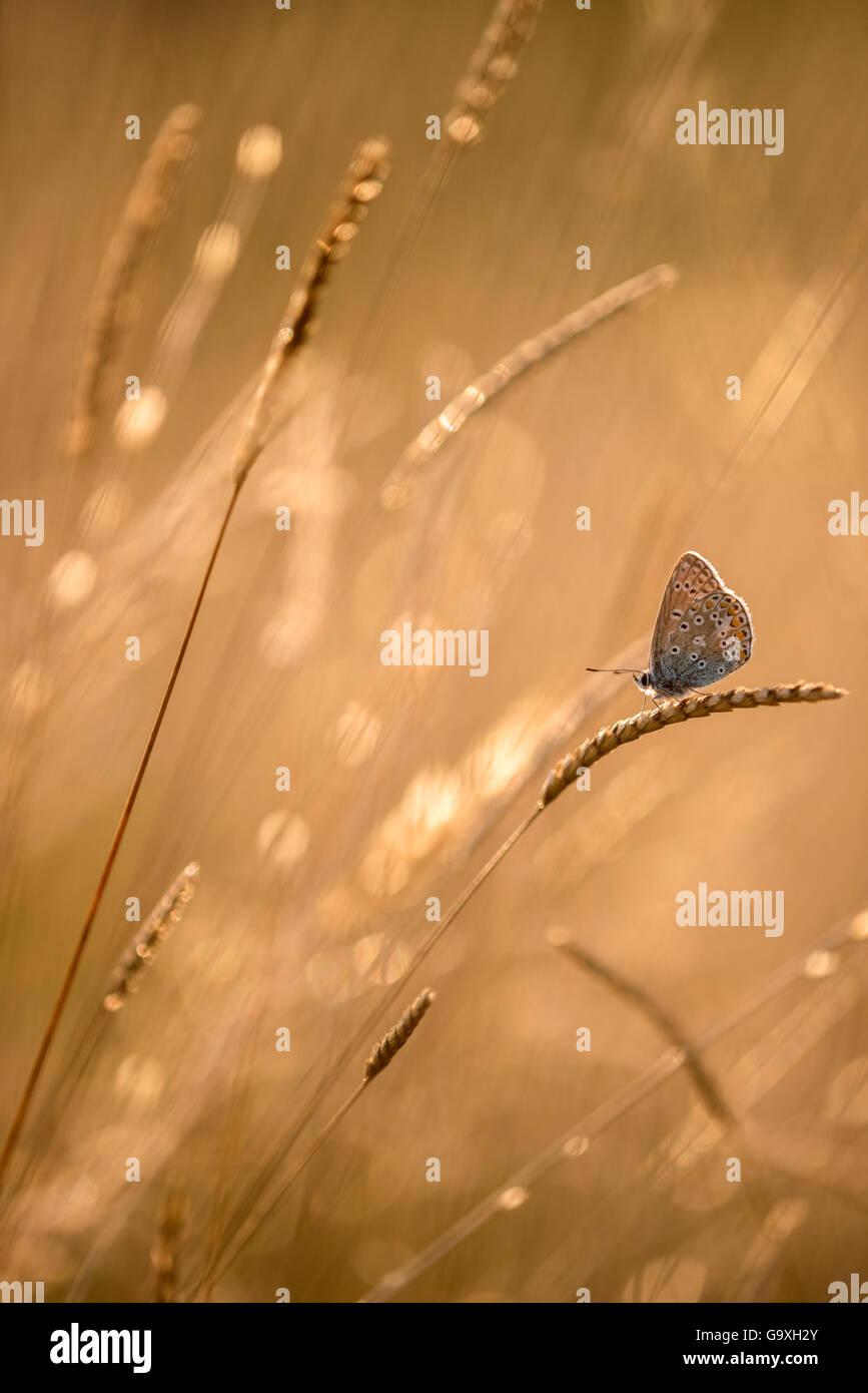 Mariposa Azul común (Polyommatus icarus) descansando sobre los céspedes al atardecer, Granja Vealand, Devon, Reino Unido. Julio. Elogia en su opinión, la categoría de tomar una vista Fotógrafo del Año Premios 2015. Foto de stock