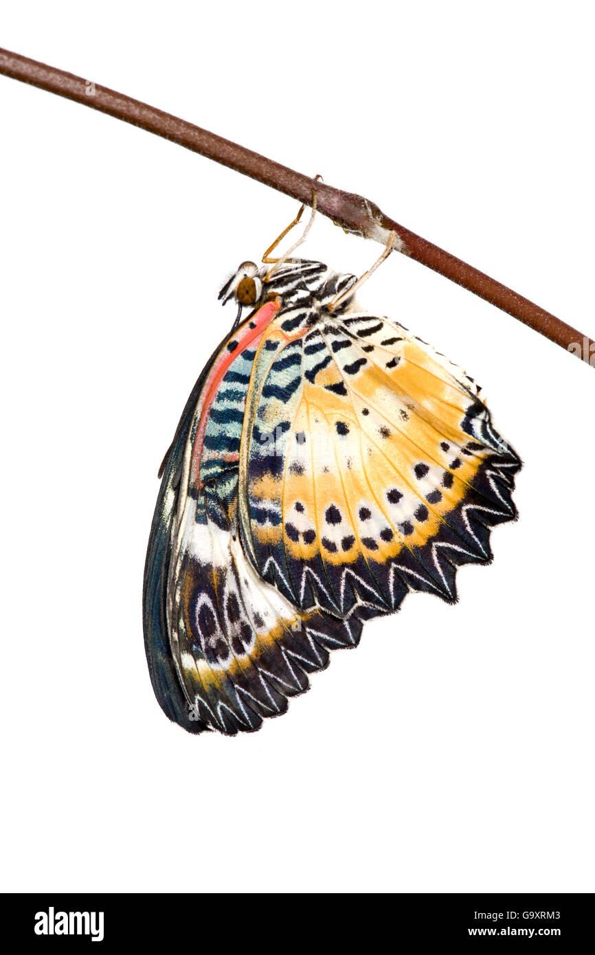 Leopard lacewing (mariposa Cethosia cyane) contra un fondo blanco, cautiva, ocurre en Asia. Foto de stock