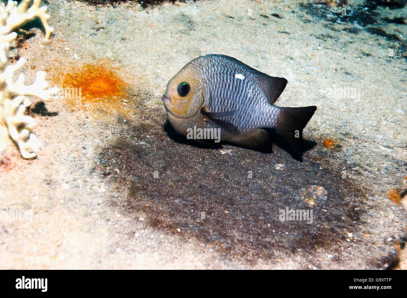 Tres manchas damisela (Dascyllus trimaculatus) protegiendo los huevos. Egipto, el Mar Rojo. Imagen De Stock