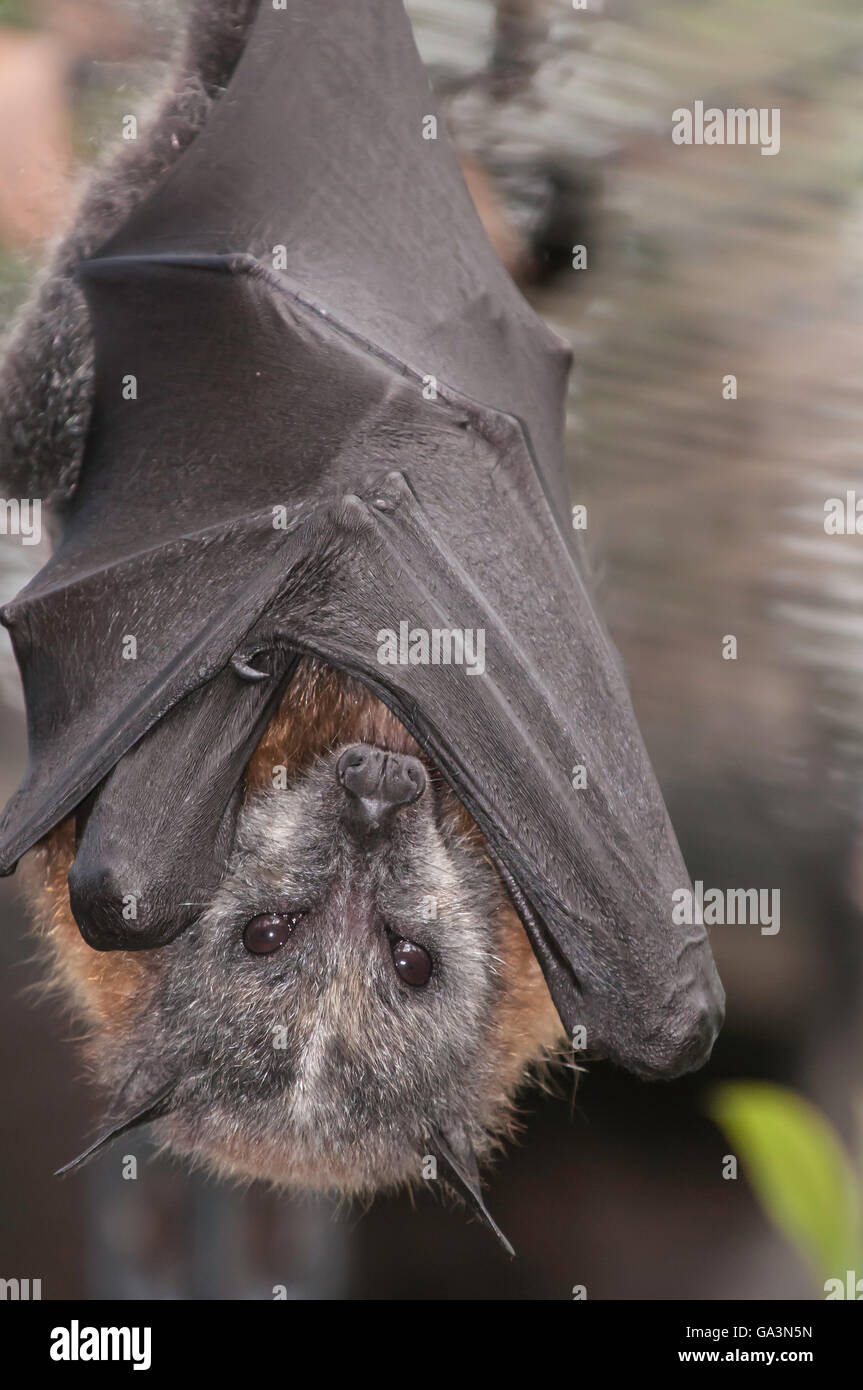 El Zorro Volador de cabeza gris, Pteropus poliocephalus, nativo de Australia Foto de stock