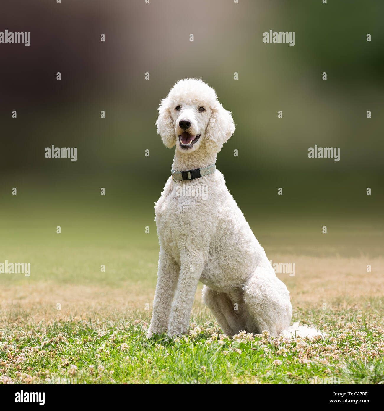 Perro caniche blanca vertical. Foto de stock