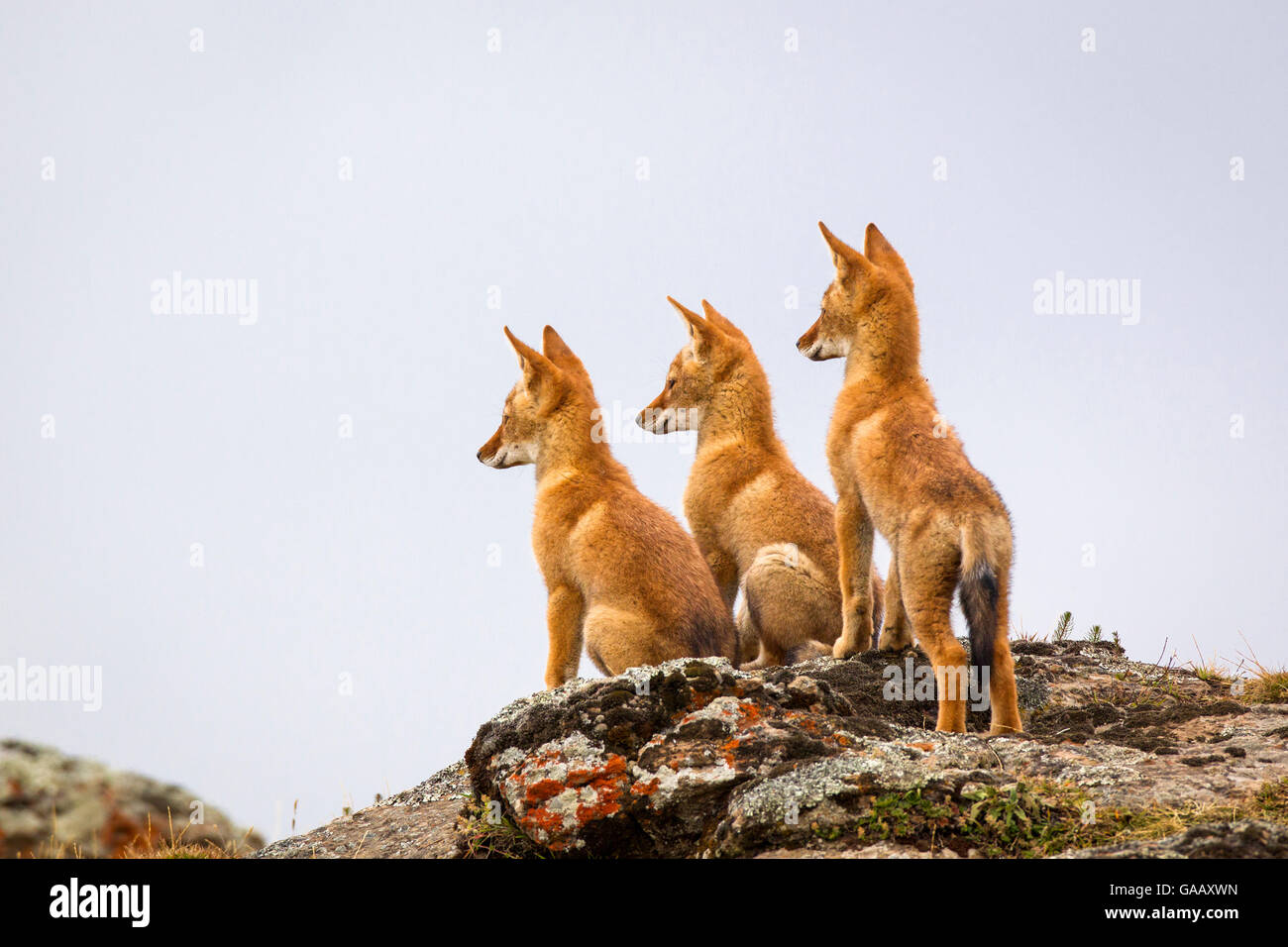 Tres Lobo etíope (Canis simensis) pup esperando que sus padres regresen, Etiopía. Imagen De Stock
