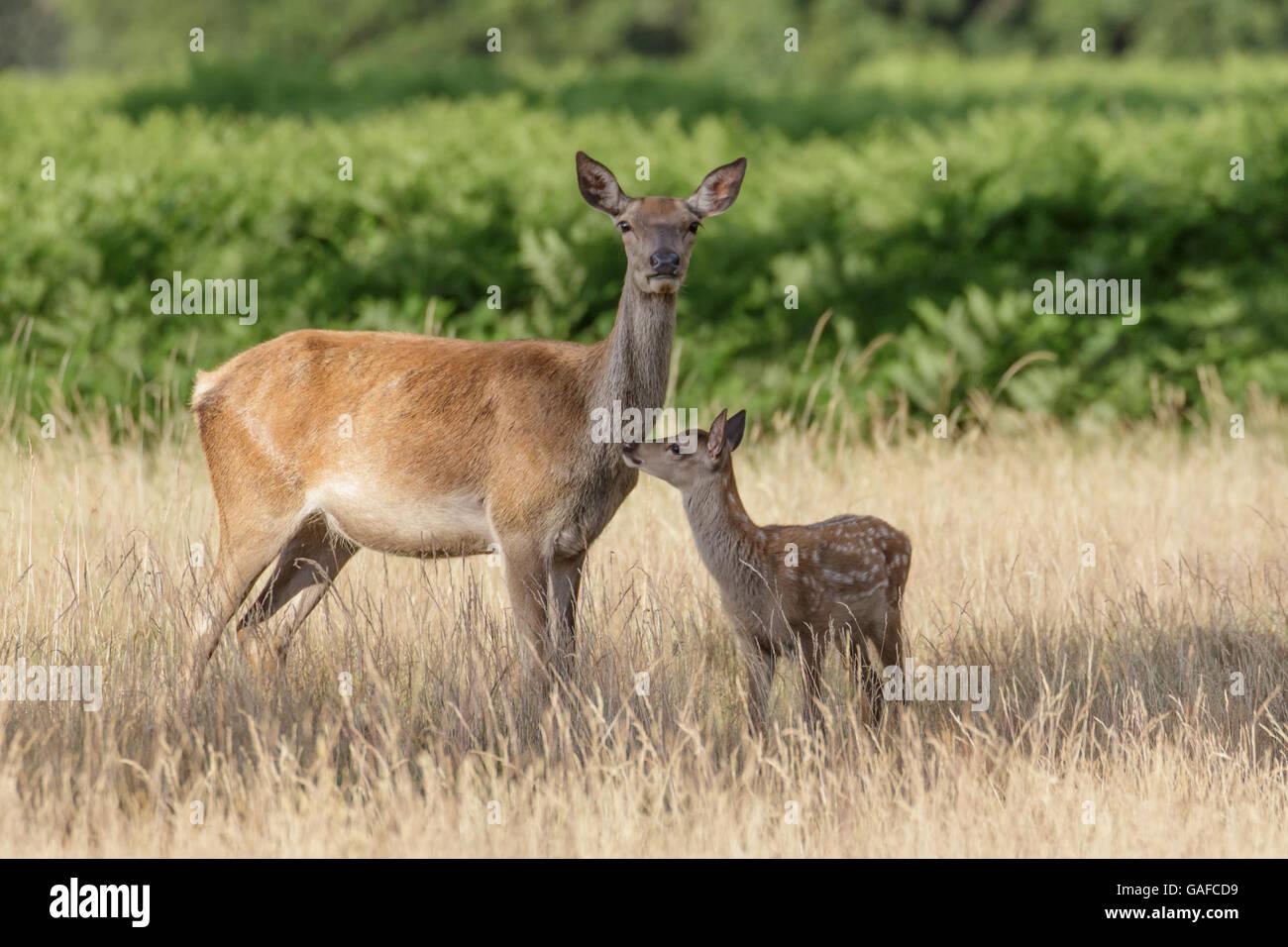 Ciervo rojo (Cervus elaphus) hembra y joven madre hind mamá bebé ternero mantener juntos. Imagen De Stock