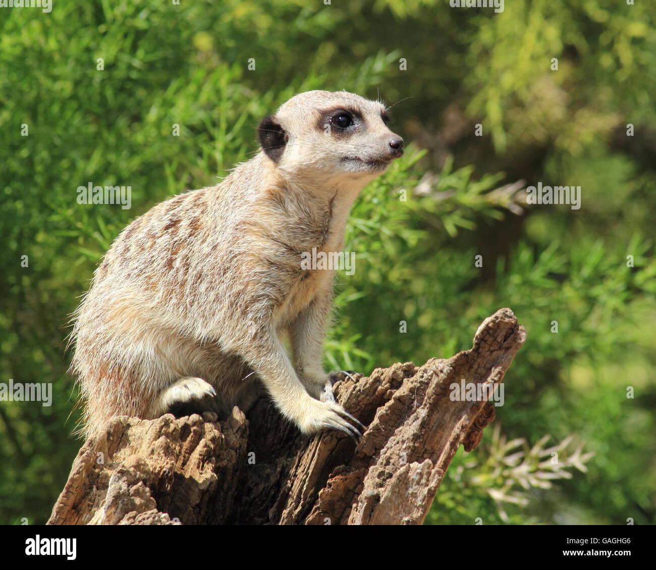 Suricata o en estado de alerta en el Cotswold Wildlife Park Imagen De Stock