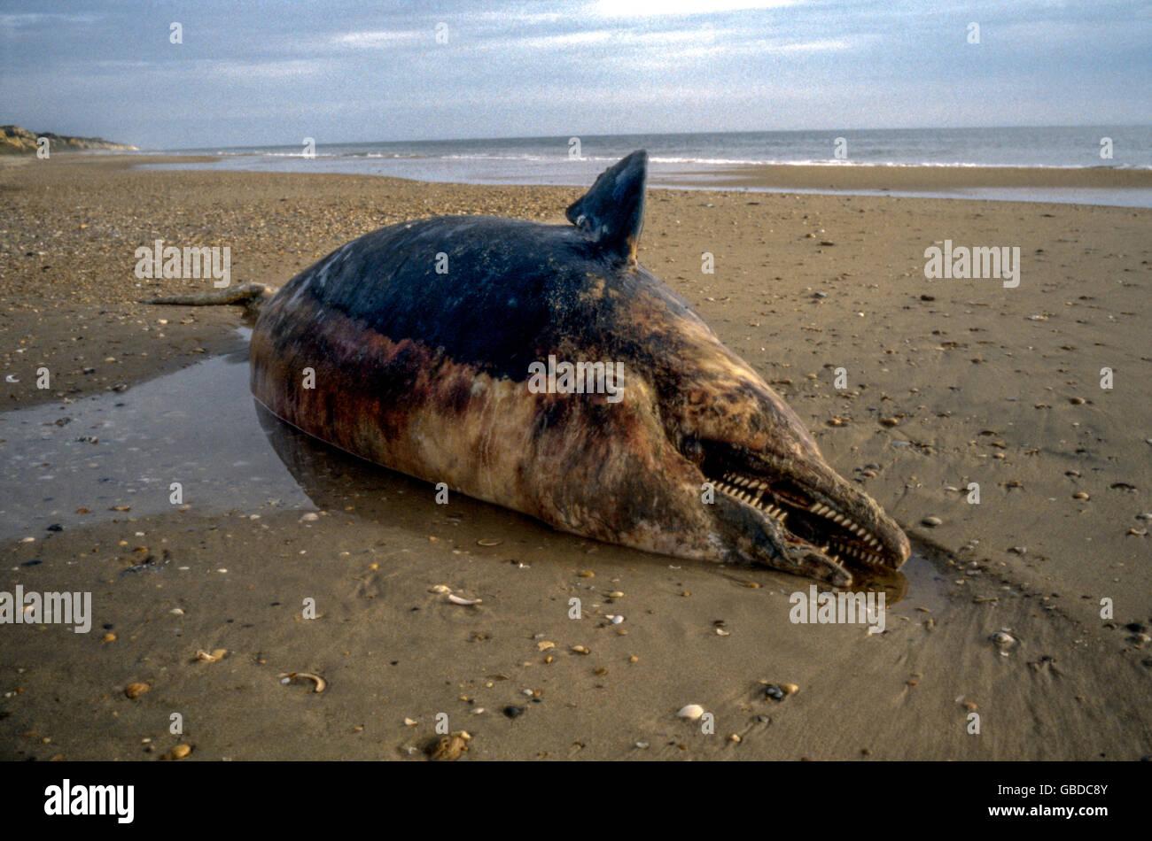 El cuerpo de un cadáver de Cetáceo de ballena muerta en la playa de cuesta de Maneli, Costa de la Luz, Andalucía, España playa Foto de stock