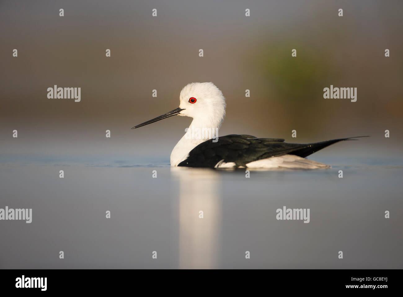 Cerca de un negro-alada Himantopus himantopus zancos en perfil nadando en una laguna poco profunda adoptadas a nivel de los ojos Foto de stock