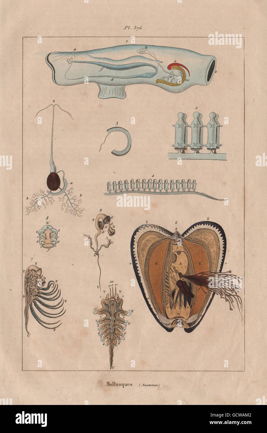 Moluscos: Mollusques. Anatomía II, grabado antiguo 1833 Foto ...
