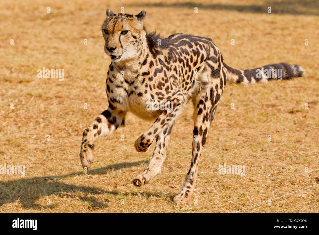 Ejecuta el guepardo (Acinonyx jubatus), un raro rey guepardo con sus distintos patrones de pieles debido a mutación Imagen De Stock