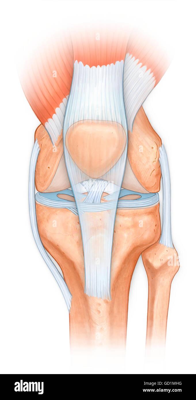 Knee Joint Muscles Imágenes De Stock & Knee Joint Muscles Fotos De ...