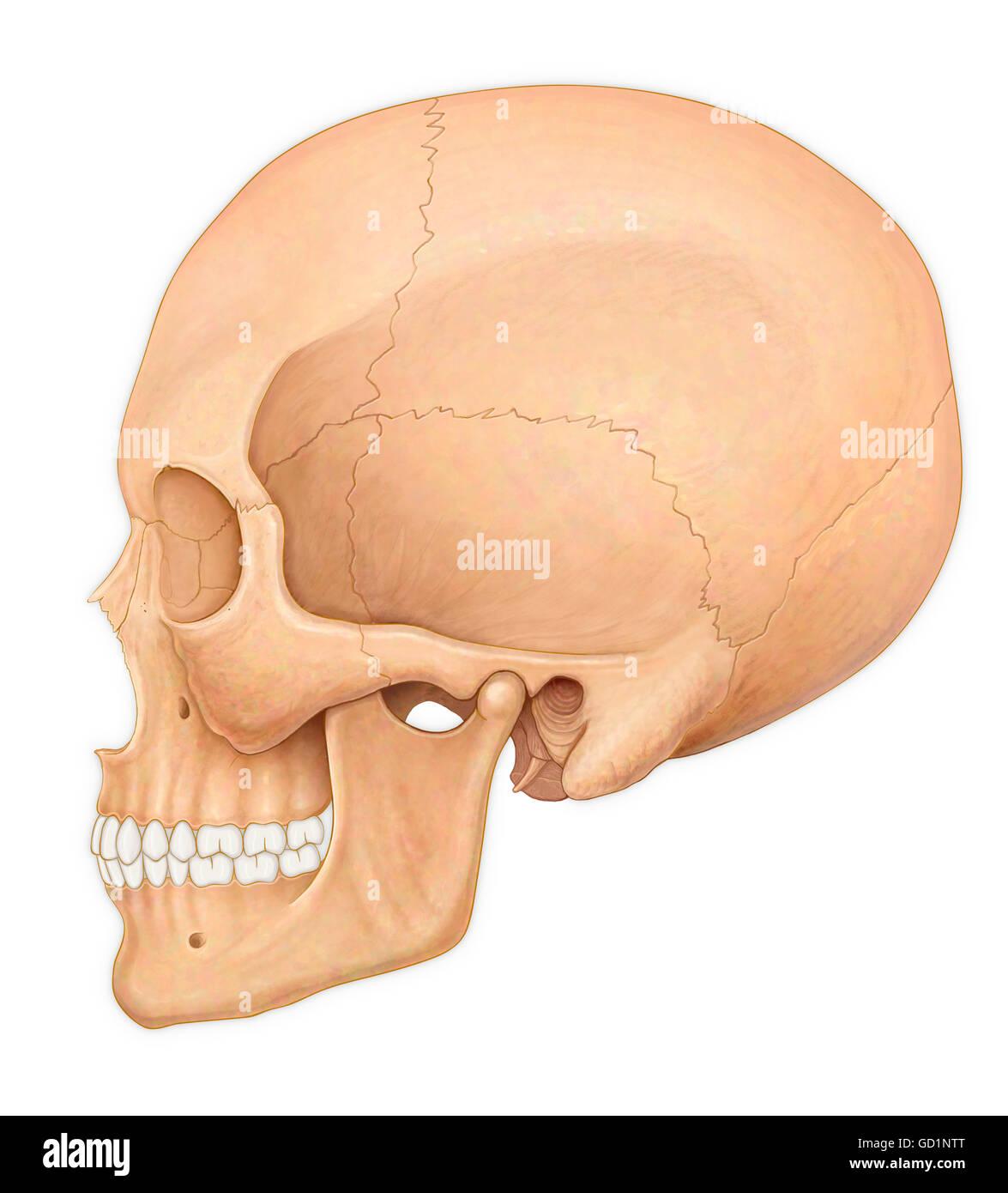 Illustration Skull Teeth Diagram Imágenes De Stock & Illustration ...