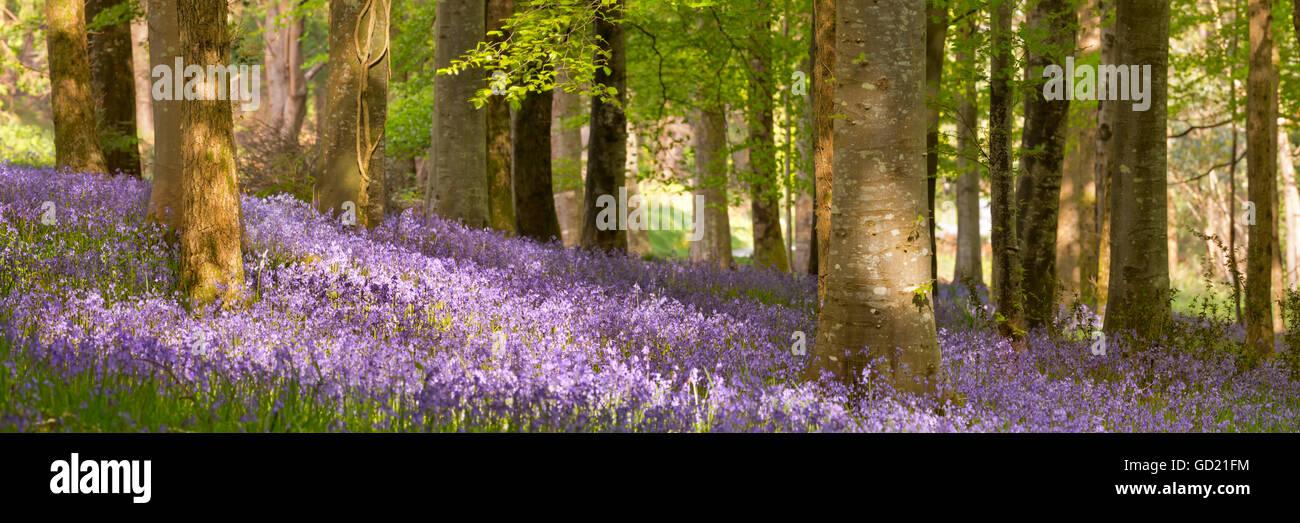 Blooming campanillas en Tollymore Park en Irlanda del Norte. Foto de stock