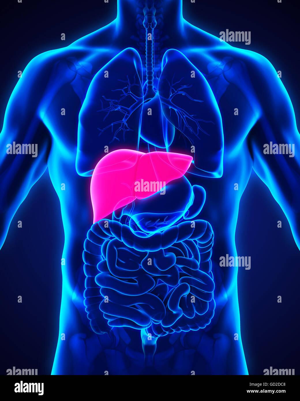 Anatomía del hígado humano Foto & Imagen De Stock: 111307176 - Alamy