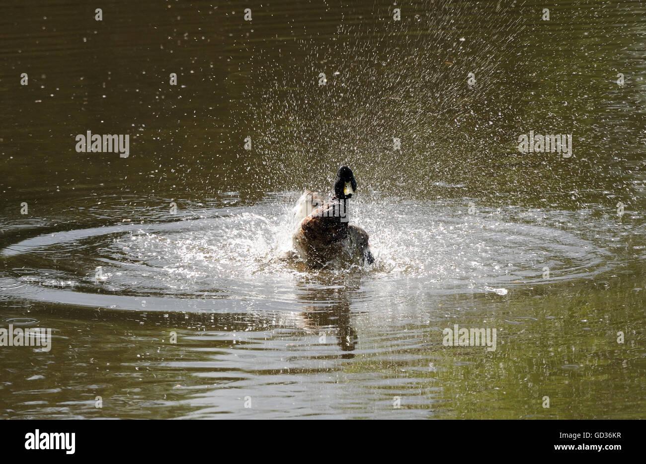 Un macho de ánade real (Anas platyrhynchos) pato baña con grandes salpicaduras. Lamberhurst, Kent, UK. Foto de stock