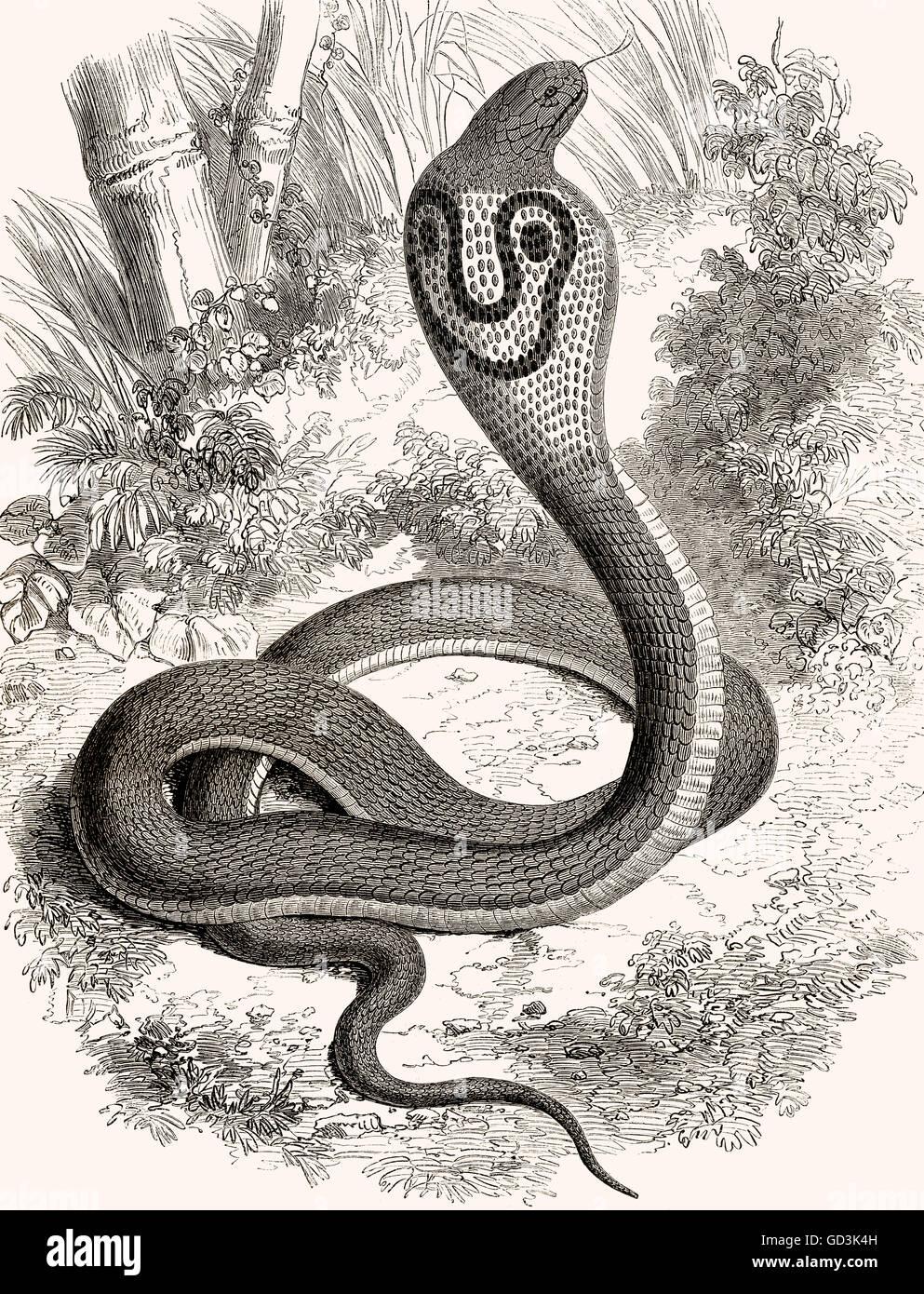 Indian cobra, Oso cobra, cobra Asiática, Naja naja, Brillenschlange, Kobra Südasiatische Foto de stock