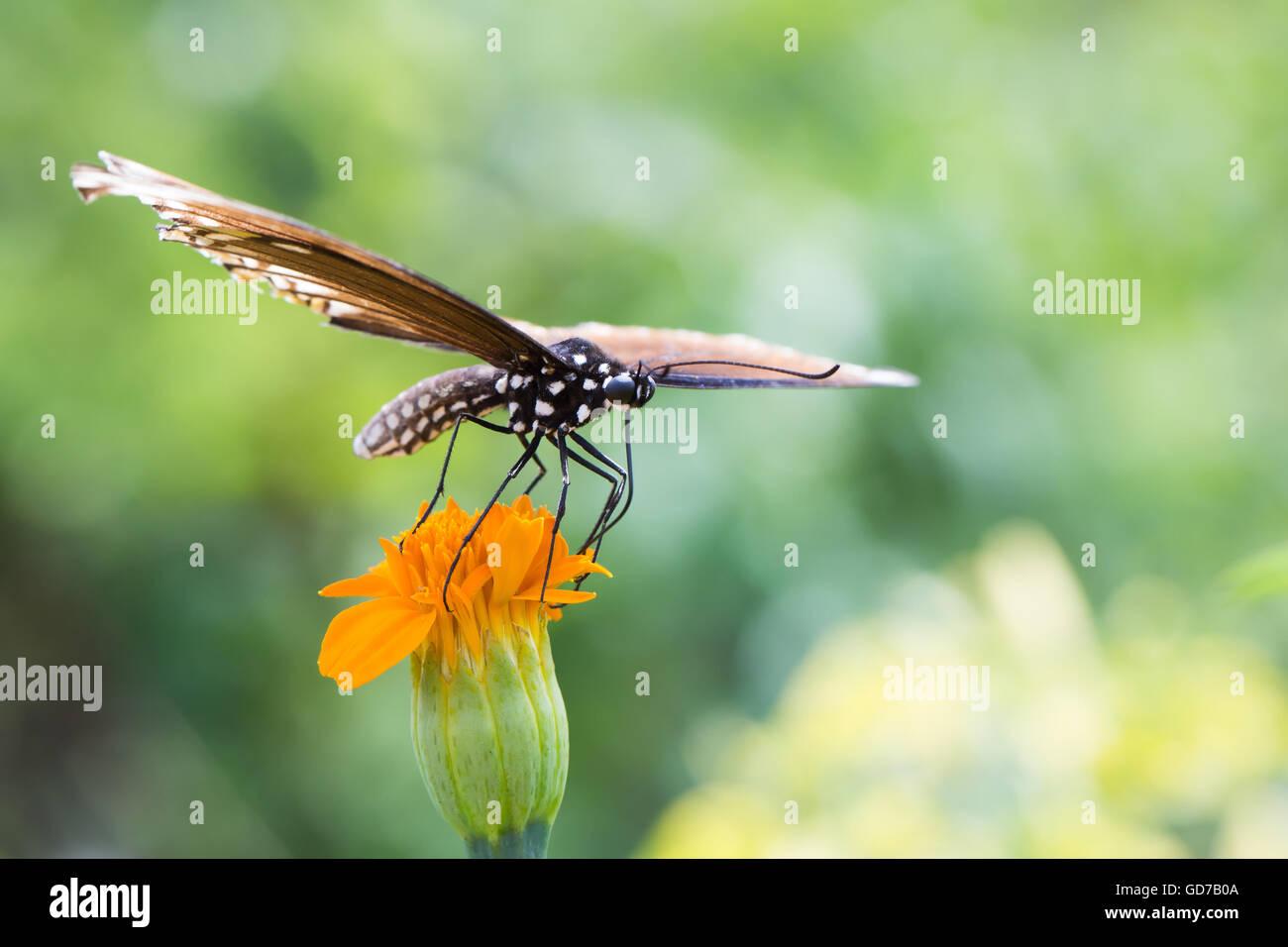Mariposas coloridas posado sobre una flor para comer. Foto de stock