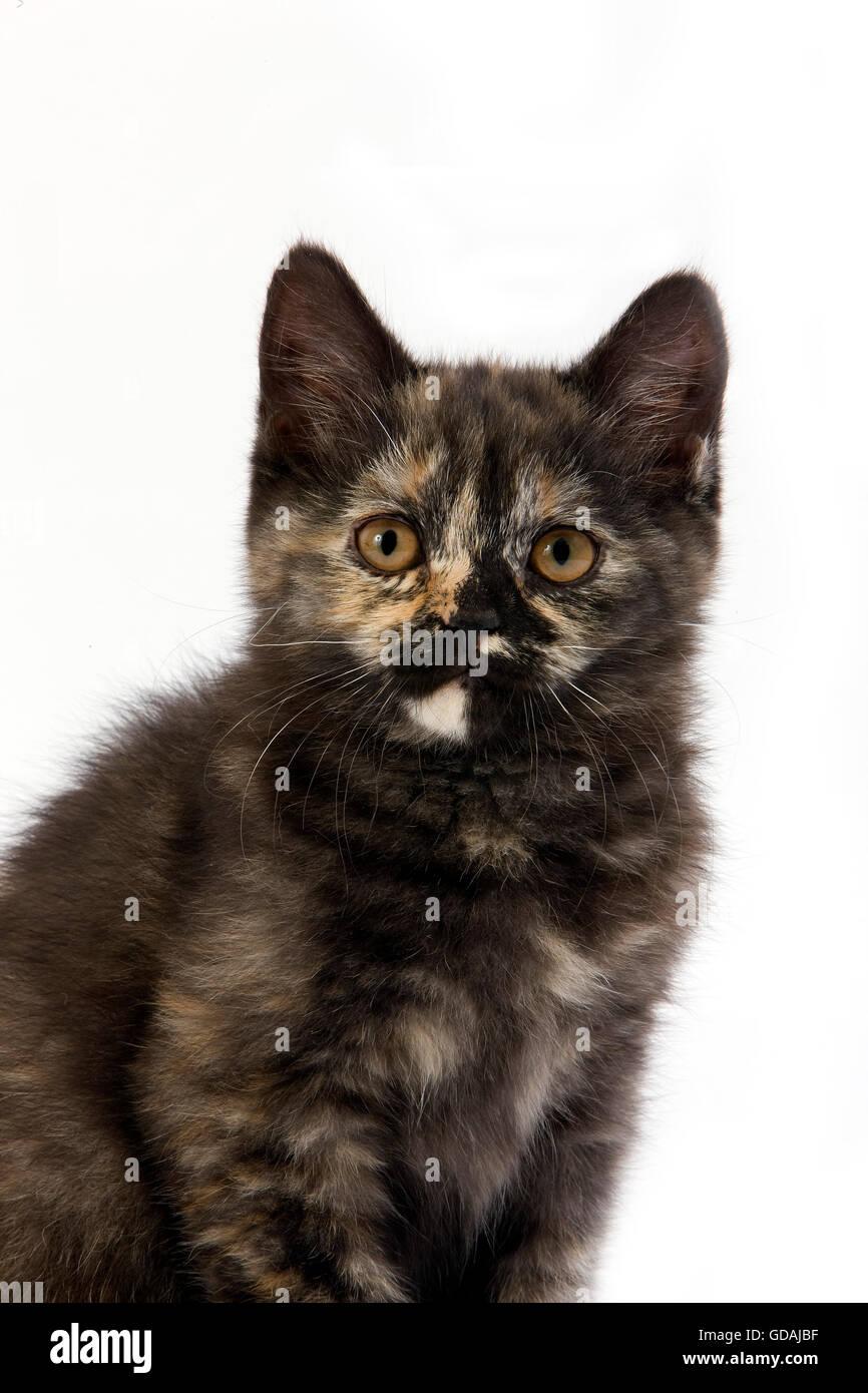 Caparazón de Tortuga Negra British Shorthair gato doméstico, 2 meses gatito contra el fondo blanco. Imagen De Stock