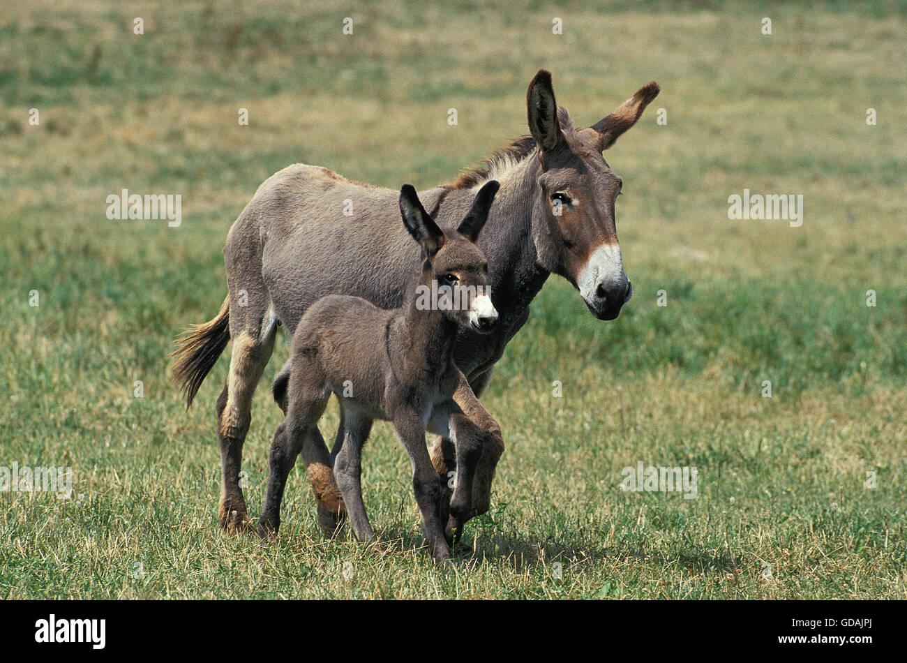 Burro gris, un francés de raza, MARE CON EL POTRO al trote a través de la pradera Imagen De Stock