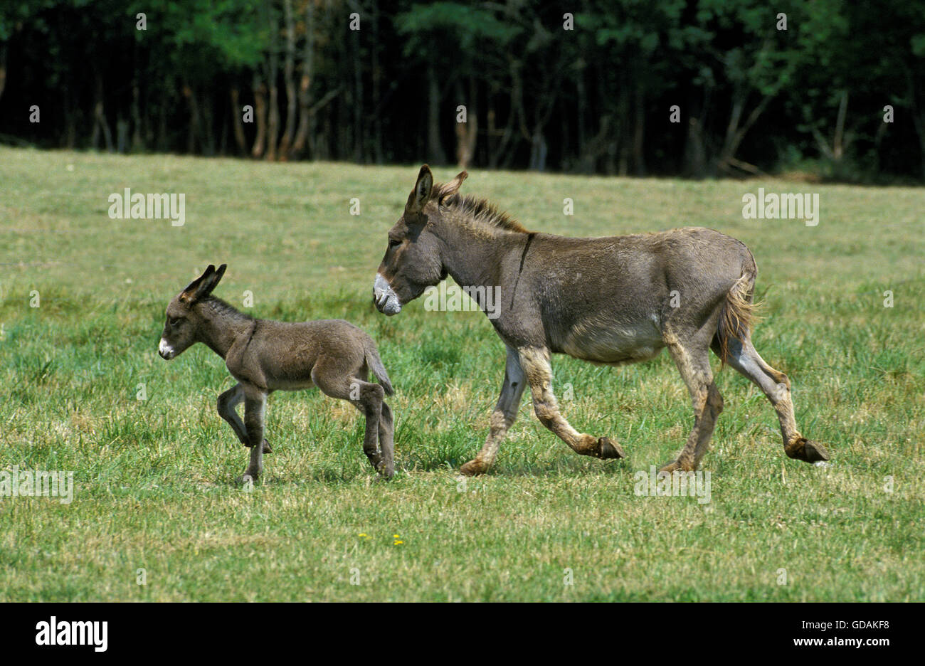 Francés burro gris, hembra con el potro al trote a través de la pradera Imagen De Stock