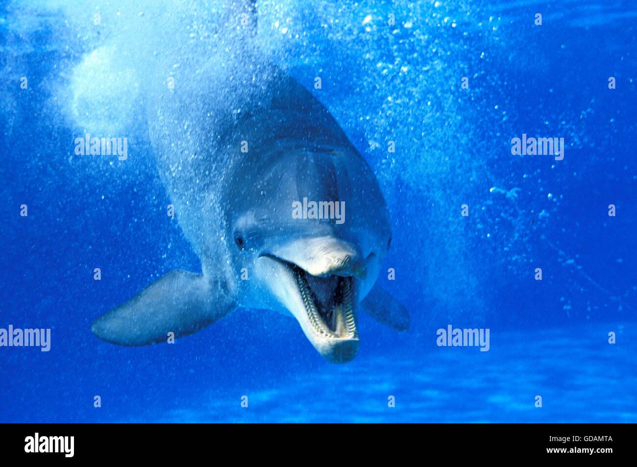El delfín mular, tursiops truncatus, adulto con la boca abierta, divertida actitud Imagen De Stock