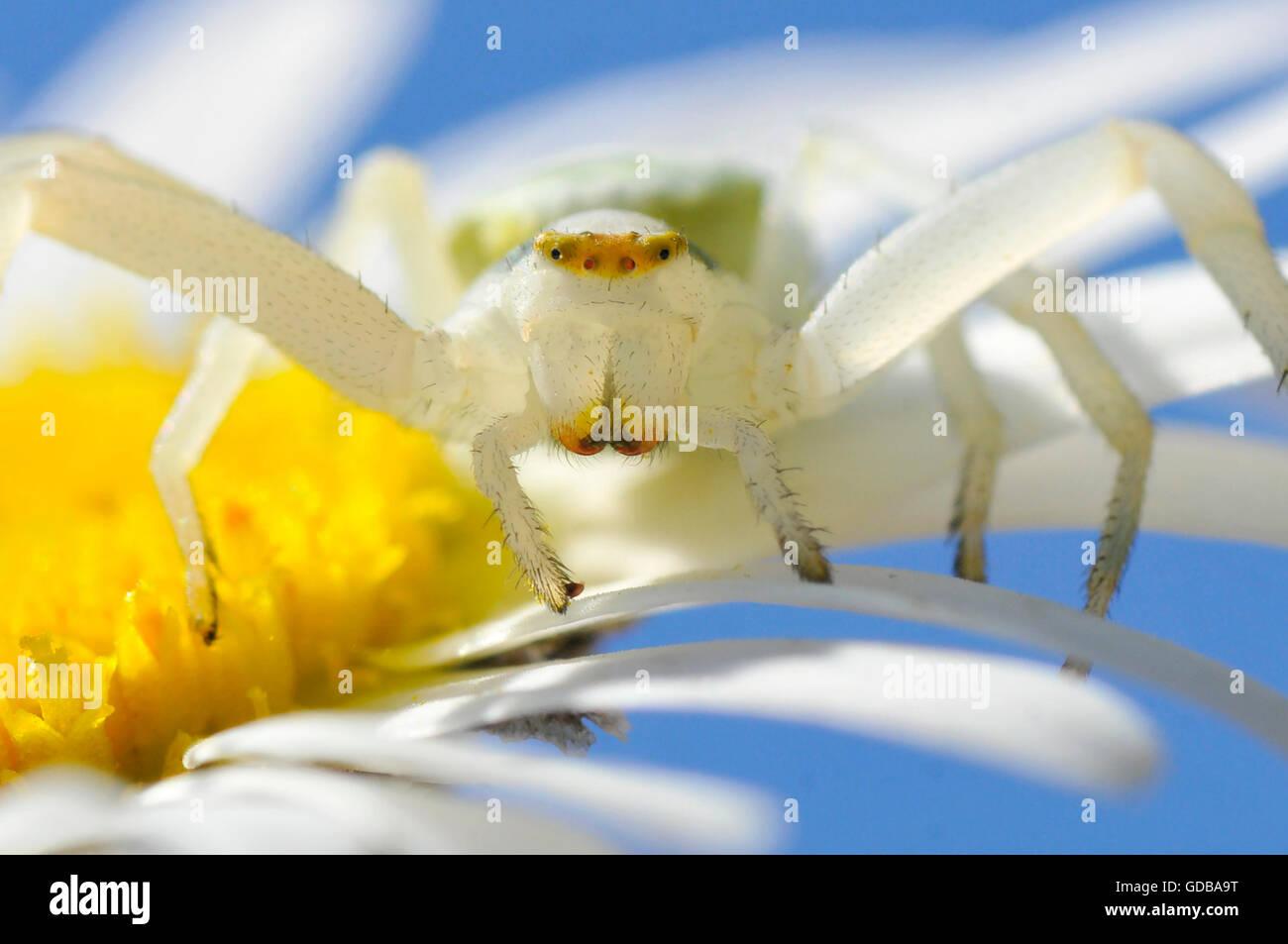Macro de cangrejo araña (Misumena vatia) visto desde el frente en flor de margarita Foto de stock