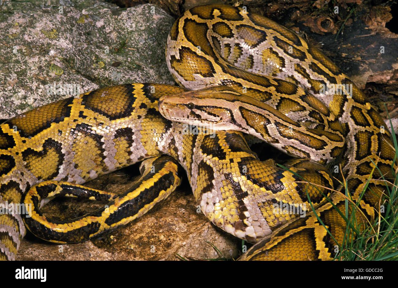INDIAN PYTHON Python molurus Foto de stock