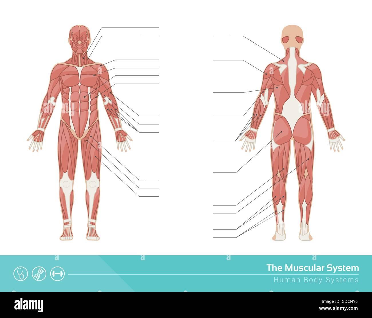 El sistema muscular humano ilustración vectorial, vista frontal y trasera Imagen De Stock