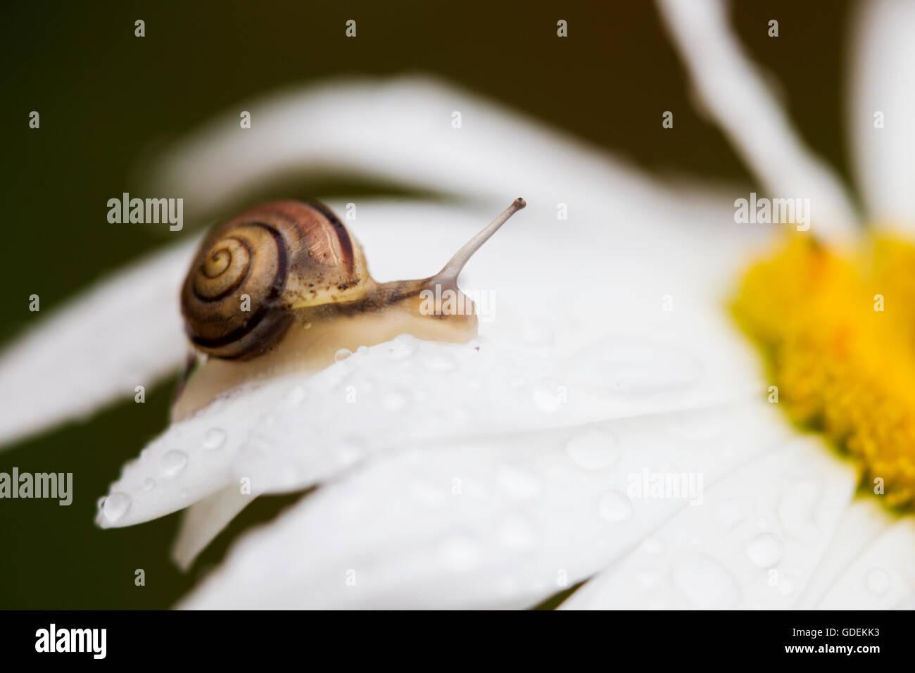 Caracol sube en una flor de margarita Imagen De Stock