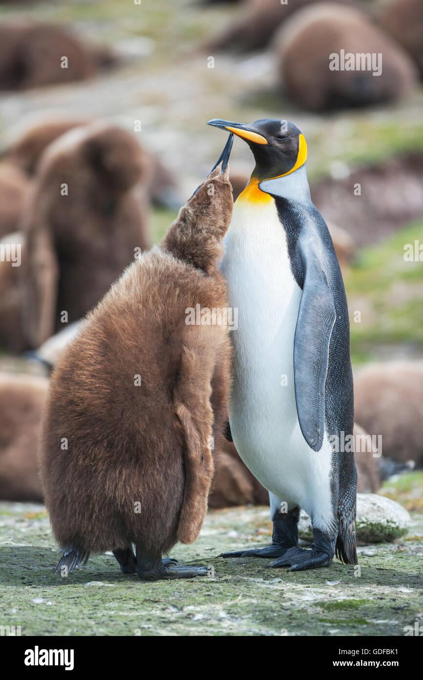 Un adulto de pingüino rey (Aptenodytes patagonicus) que alimentan su chick, East Falkland, Islas Malvinas, en el Atlántico sur Foto de stock