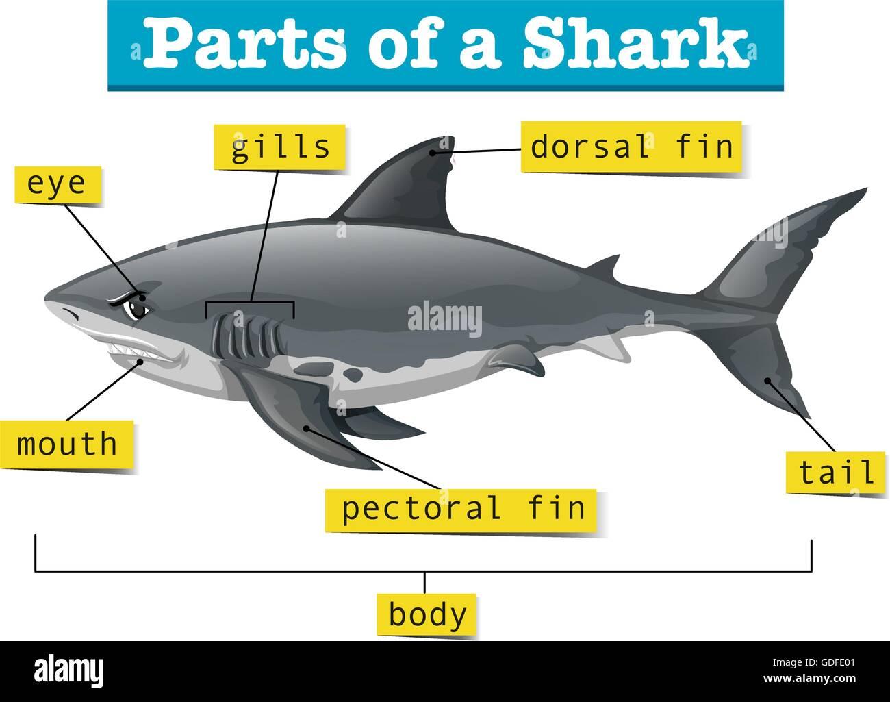 Asombroso Tiburón Diagrama Anatomía Interna Embellecimiento ...